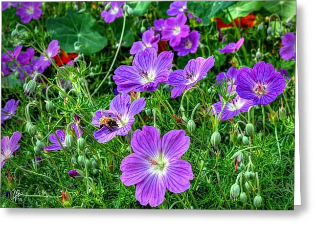Purple Geranium Greeting Cards - Purple Rozanne Geraniums 002 Greeting Card by Lance Vaughn