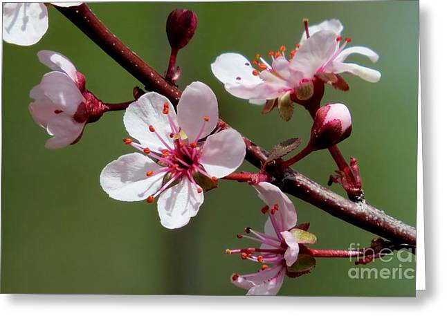 Ovates Greeting Cards - Purple Sand Cherry Greeting Card by Michele Penner