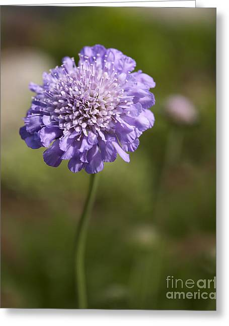 Close Up Floral Greeting Cards - Purple Scabious columbaria Greeting Card by Tony Cordoza
