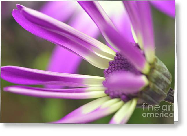 Senetti Photographs Greeting Cards - Purple Senetti I Greeting Card by Cate Schafer