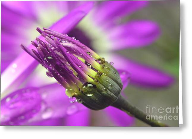 Purple Senetti II Greeting Card by Cate Schafer