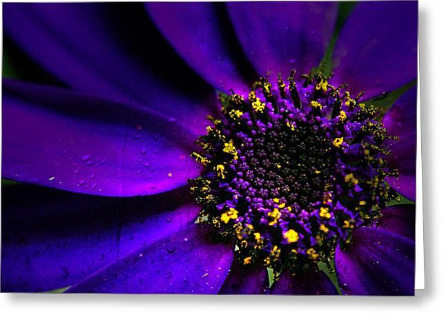 Purple Senetti In Macro Greeting Card by Rosanna Zavanaiu