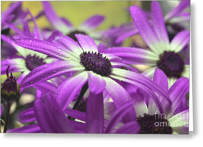 Purple Senetti IV Greeting Card by Cate Schafer