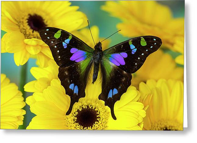Purple Spotted Swallowtail Butterfly Greeting Card by Darrell Gulin