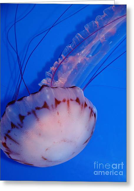Snorkel Greeting Cards - Purple Striped Jelly Fish 5D24930 Greeting Card by Wingsdomain Art and Photography