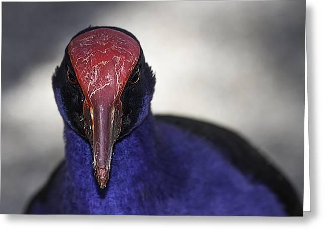 Water Bird Greeting Cards - Purple Swamphen portrait Greeting Card by Mr Bennett Kent