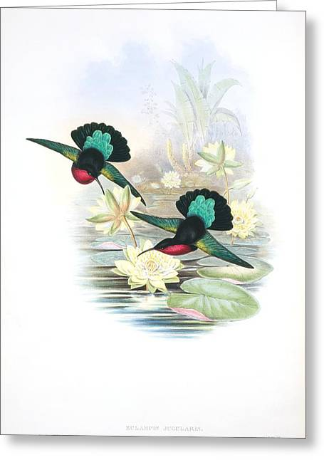 Hovering Greeting Cards - Purple-throated caribs, artwork Greeting Card by Science Photo Library