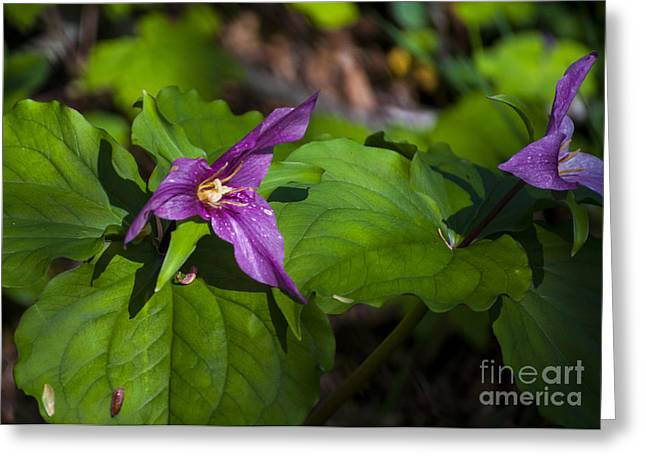 Newport Greeting Cards - Purple Trillium Greeting Card by Mandy Judson