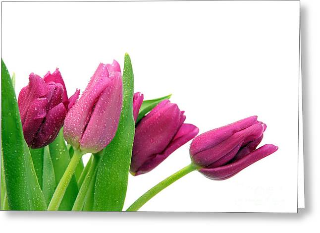 Vivid Colour Pyrography Greeting Cards - Purple Tulip Greeting Card by Boon Mee