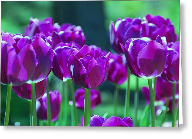 Pinks And Purple Petals Greeting Cards - Purple Tulips Greeting Card by Allen Beatty
