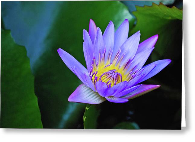 Hawaiian Pond Greeting Cards - Purple Water Lily Greeting Card by Christi Kraft