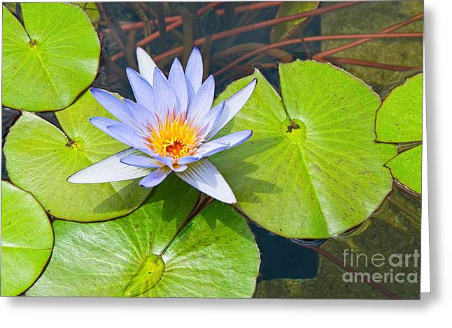 Sunlight On Flowers Greeting Cards - Purple Water Lily in pond. Greeting Card by Jamie Pham