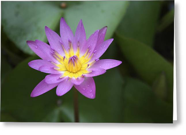 Innocence Greeting Cards - Purple Water Lily with yellow anther Greeting Card by Marina Kojukhova