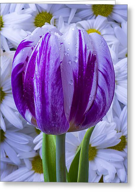 Rain Drop Greeting Cards - Purple white tulip Greeting Card by Garry Gay