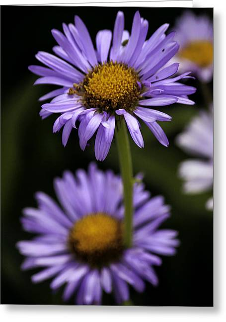 Seattle Greeting Cards - Purple Wild Flowers Greeting Card by Paul Shefferly