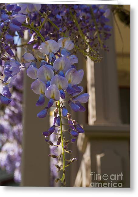 Purple Greeting Cards - Purple Wisteria Greeting Card by Mandy Judson