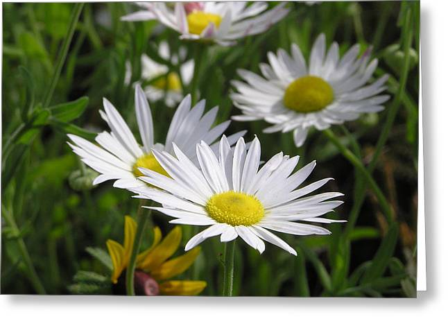 Shannon Story Greeting Cards - Pushing Up Daisies Greeting Card by Shannon Story