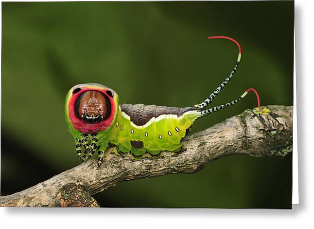 Thomas Marent Greeting Cards - Puss Moth Caterpillar Switzerland Greeting Card by Thomas Marent