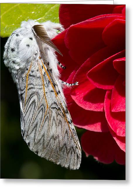 Lepidoptera Greeting Cards - Puss Moth on red camellia Greeting Card by Mr Bennett Kent