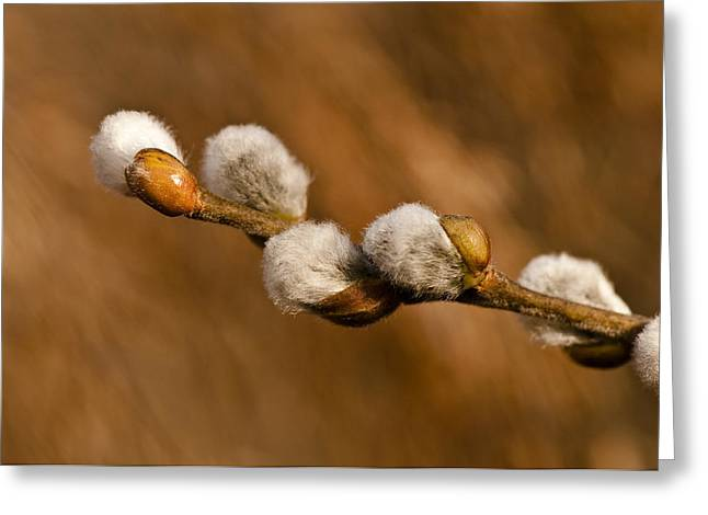 Pussy Greeting Cards - Pussy Willow Heaven - Nature Photos Greeting Card by Laria Saunders