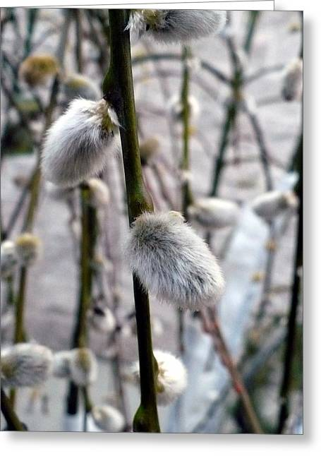 Pussy Willow Branches Greeting Cards - Pussy Willows Greeting Card by Nicki Bennett
