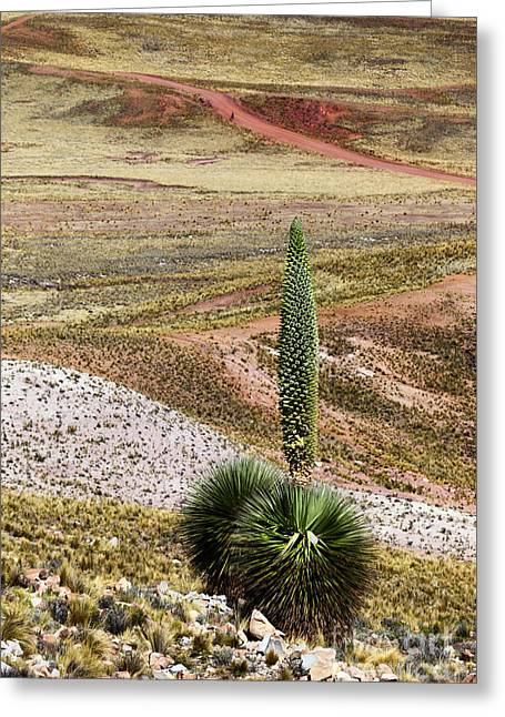Puya Raimondii Plant In Flower Greeting Card by James Brunker