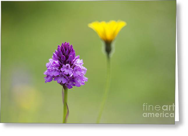 Lilac Greeting Cards - Pyramidal Orchid Greeting Card by Tim Gainey