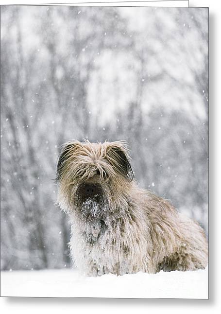 Dog In Snow Greeting Cards - Pyrenean Shepherd Dog Greeting Card by Jean-Paul Ferrero