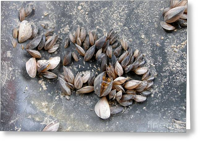 Invasive Species Greeting Cards - Quagga Mussels Dreissena Bugensis Greeting Card by U.S. Fish & Wildlife Service