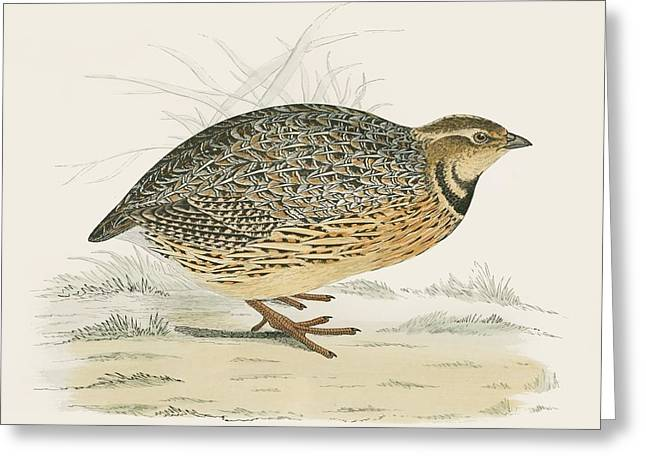 Hunting Bird Photographs Greeting Cards - Quail Greeting Card by Beverley R. Morris