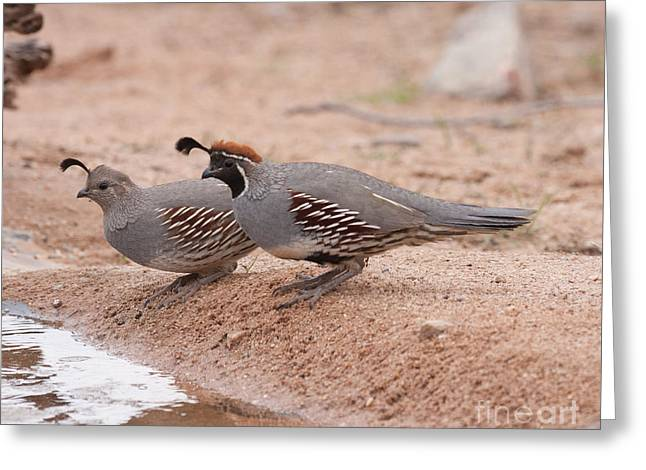 Ruth Jolly Greeting Cards - Quail Couple Greeting Card by Ruth Jolly