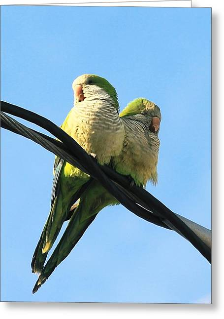 Quaker Parrot Greeting Cards - Quaker cuddle Greeting Card by Sheryl Eisner