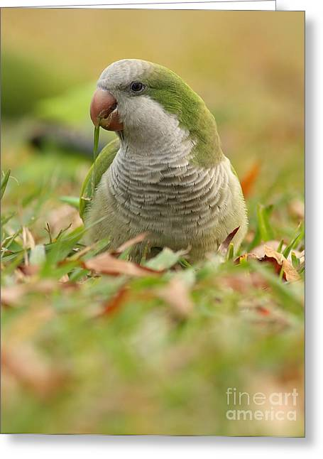 Quaker Parrot Greeting Cards - Quaker Parrot #3 Greeting Card by David Cutts