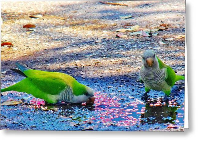 Quaker Parrot Greeting Cards - Quakers Greeting Card by Rosana Modugno
