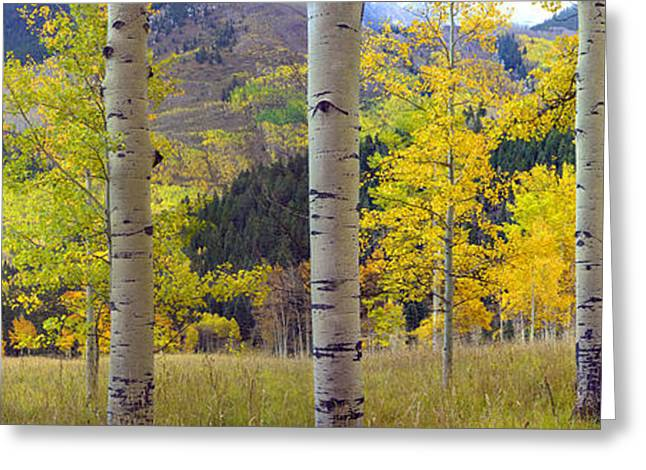 Photos Of Autumn Greeting Cards - Quaking Aspen Grove In Autumn Colorado Greeting Card by Tim Fitzharris