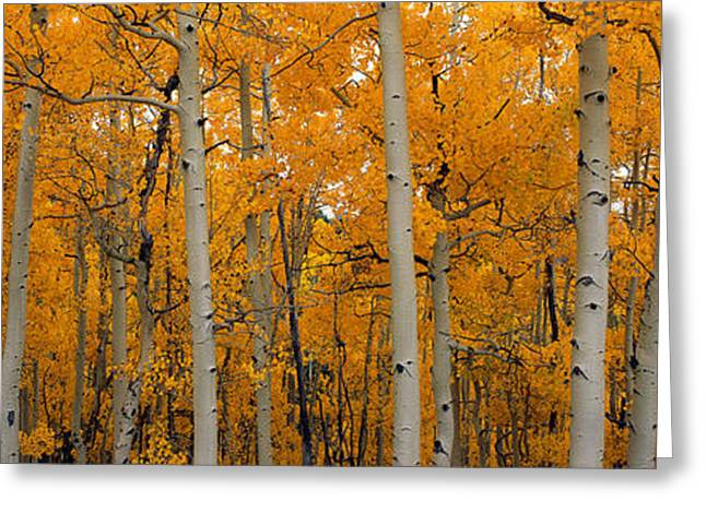Dixie Greeting Cards - Quaking Aspens Dixie National Forest Ut Greeting Card by Panoramic Images