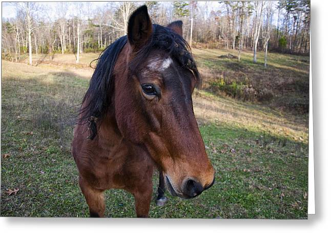 Horse Images Digital Greeting Cards - Quarter Horse close up Greeting Card by Chris Flees
