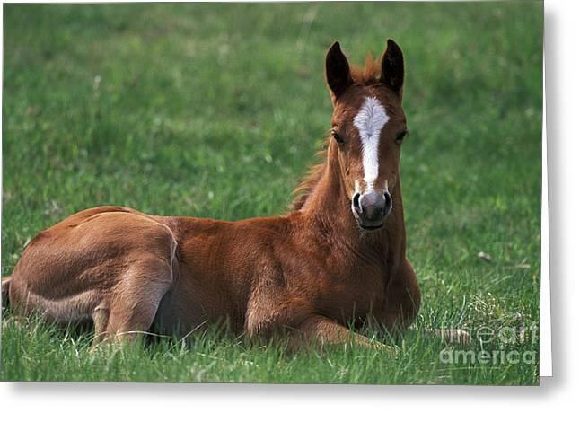 Quarterhorses Greeting Cards - Quarterhorse Foal Greeting Card by Rolf Kopfle