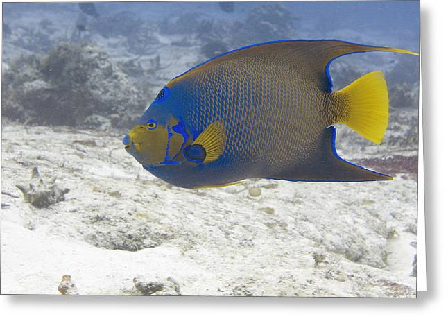 Underwater Greeting Cards - Queen Angelfish Greeting Card by Jim Murphy