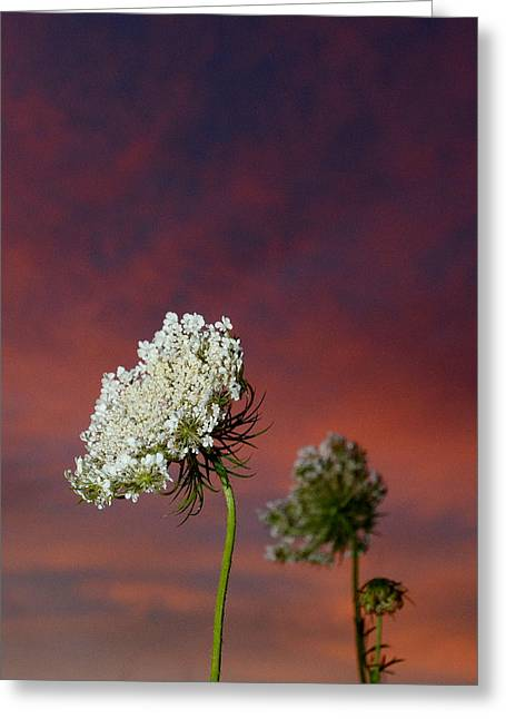Carbon Dioxide Digital Greeting Cards - Queen Annes Lace at Sunset Greeting Card by Eric Abernethy