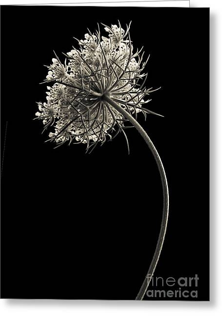 Fragility Photographs Greeting Cards - Queen Annes Lace Greeting Card by Diane Diederich