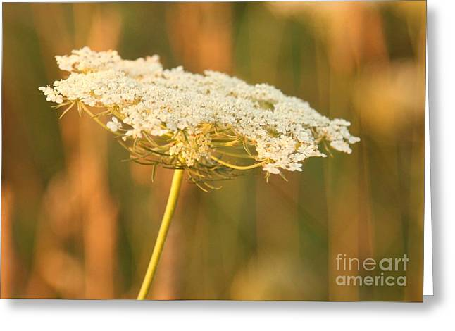 Eve Wheeler Greeting Cards - Queen Annes Lace H-4 Greeting Card by Eve Wheeler
