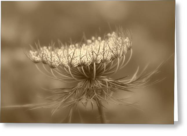 Kim Photographs Greeting Cards - Queen Annes Lace Greeting Card by Kim Hojnacki