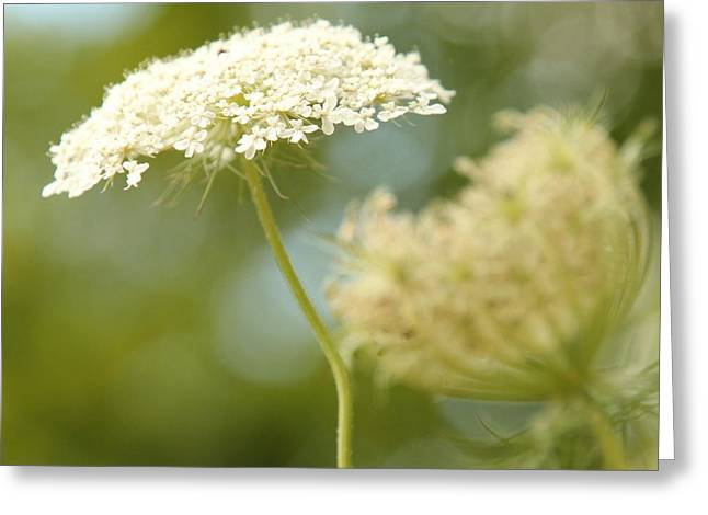 Eve Wheeler Greeting Cards - Queen Annes Lace S-1 Greeting Card by Eve Wheeler