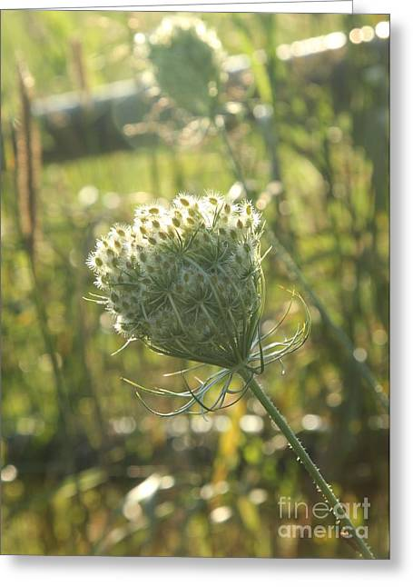Eve Wheeler Greeting Cards - Queen Annes Lace V-2 Greeting Card by Eve Wheeler