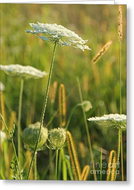 Eve Wheeler Greeting Cards - Queen Annes Lace V-3 Greeting Card by Eve Wheeler