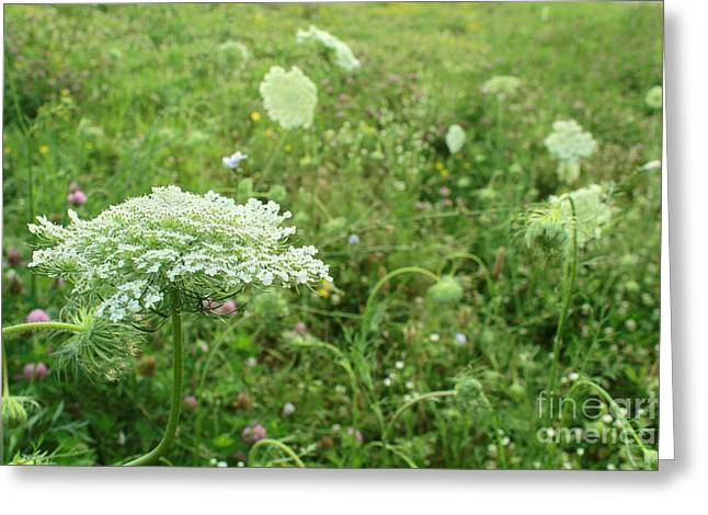 Daucus Greeting Cards - Queen Annes Lace white wildflower growing in Midwest USA Greeting Card by Adam Long
