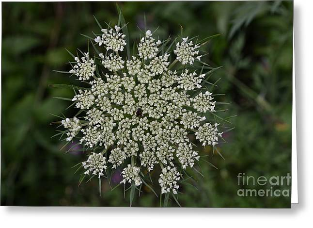 Queen Pyrography Greeting Cards - Queen Anns Lace Greeting Card by Susan Russo