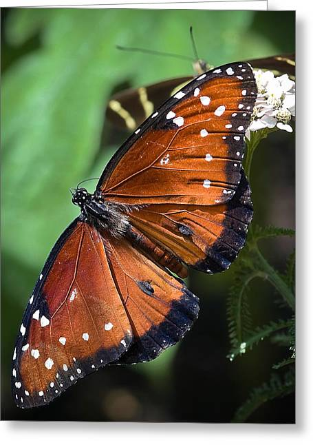Queen Butterfly Greeting Cards - Queen Butterfly Greeting Card by Adam Romanowicz