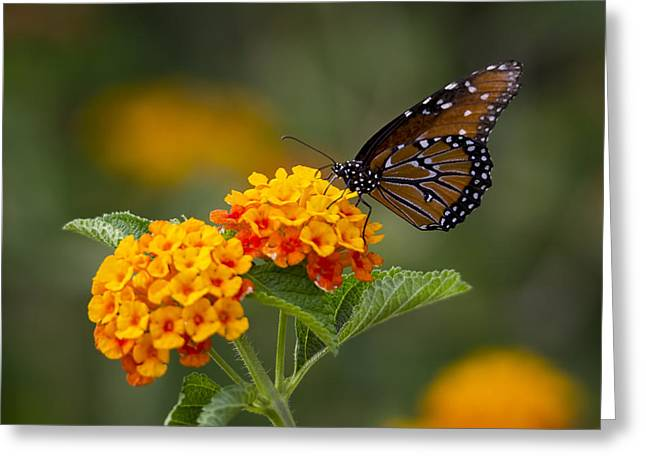 Queen Butterfly Greeting Cards - Queen Butterfly Atop Lantana Greeting Card by Saija  Lehtonen